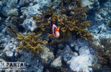 Ketemu clown fish yang lain Ikan paling kepo nih. Penasaran sama kamera